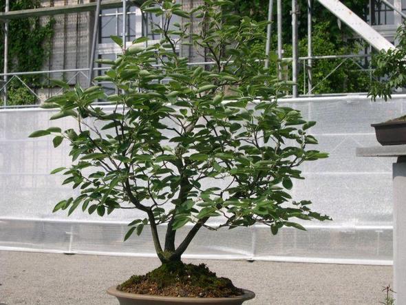 amalanchier als bonsai - (Pflanzen, Botanik, Balkon)