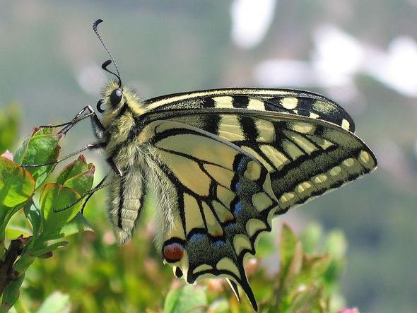 Schwalbenschwanz. Die Raupe frisst Möhre, Fenchel und Dill. - (Insekten, Schmetterling, züchten)