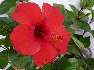Hibiskusblüte - (Zimmerpflanzen, züchten, Hibiskus)