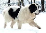 Landseer - (Hund, Hunderassen, erbkrankheiten)