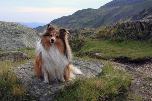 Coco die süßeste Sheltie-Hündin - (Hund, Hunderassen)