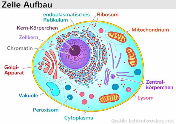 - (Schule, Biologie)