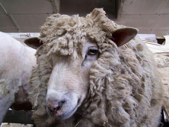 Das Schaf mit dem Schafzimmerblick... - (Tiere, Menschen, Biologie)