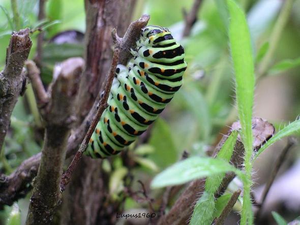 Schwalbenschwanzraupe - (Insekten, Spinnen, Frühling)