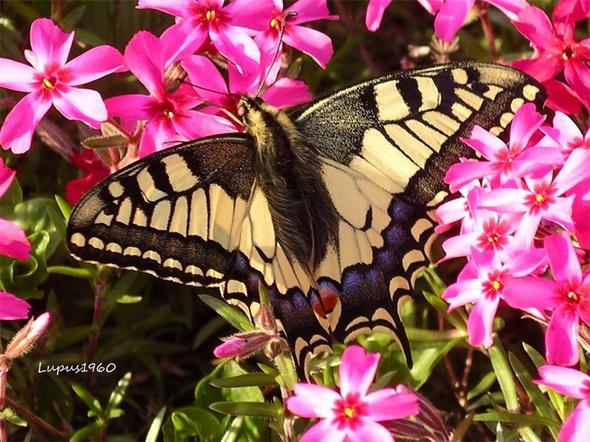 Schwalbenschwanz - (Insekten, Spinnen, Frühling)