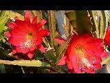 meine Blattkakteen - (Garten, Pflanzen, Natur)