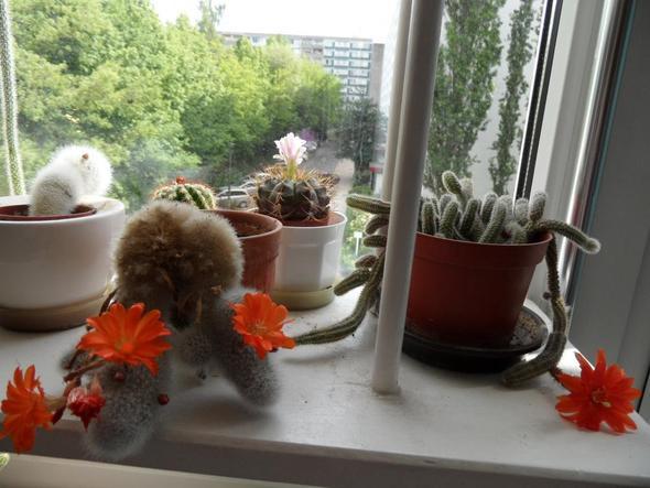mein Kakteenfenster - (Garten, Pflanzen, Natur)
