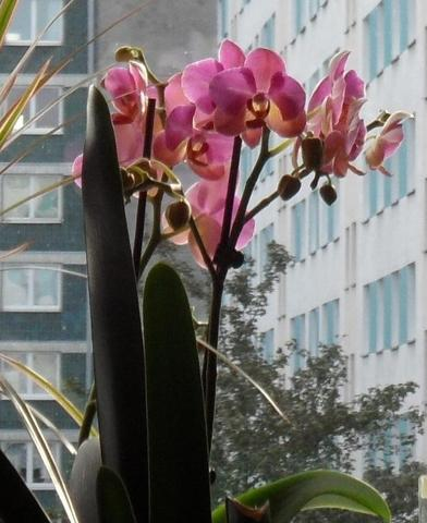 meine rote Orchidee vorm Fenster - (Orchideen, verblueht)