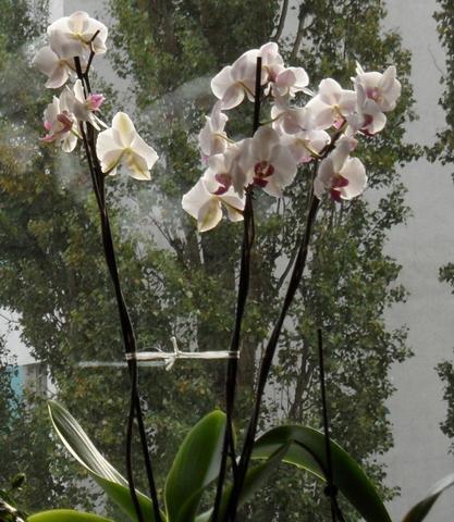 meine weiße Orchidee vorm Fenster - (Orchideen, verblueht)