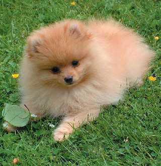 Zwergspitz - (Tiere, Hund)