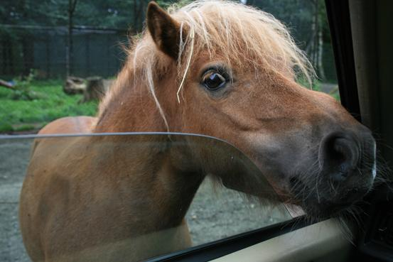 Pony guckt ins Auto - (Freizeitpark, serengeti park)