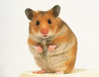 goldhamster - (Hamster)