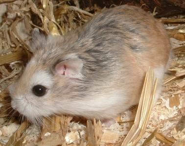 roborowski zwerghamster - (Hamster)