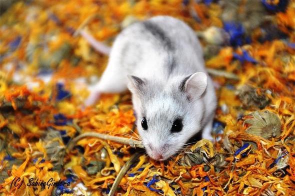 chinesischer streifenhamster - (Hamster)