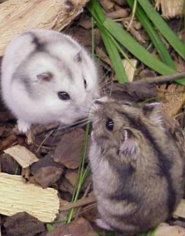dsungarischer zwerghamster - (Hamster)