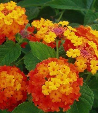 Wandelröschen  - (Blumen, Blüten)