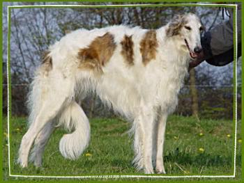 barsoi, photobucket.com - (Haare, Hund, Barsoi)