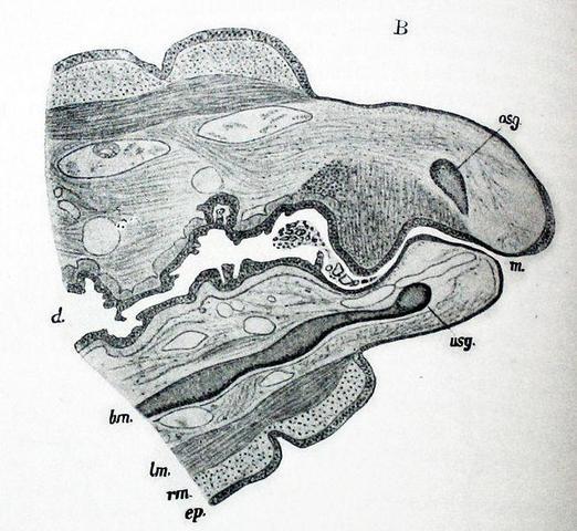 Haben Regenwürmer einen Mund? (Anatomie, regenwurm)