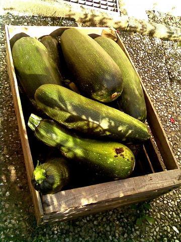Warum Geht Meine Selbstgezogene Zucchini Pflanze Langsam Ein