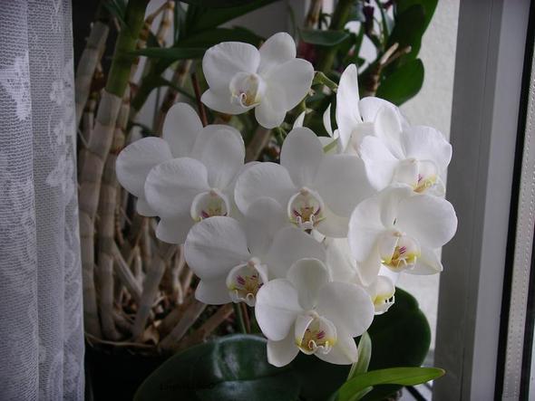 Wie Lange Blüht Eine Orchidee Durchschnittlich? (Blumen