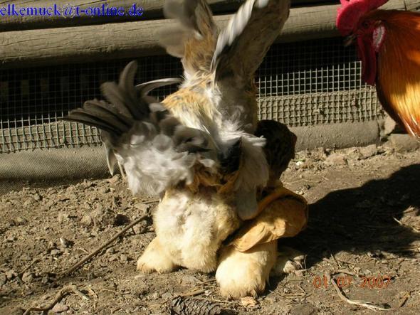 Wie Befruchtet Der Hahn Die Henne