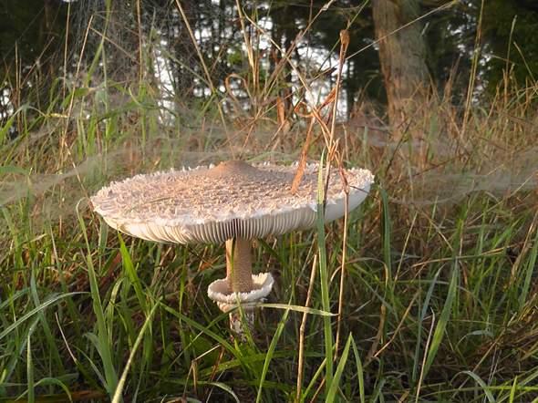 - (kochen, Wald, Pilze)