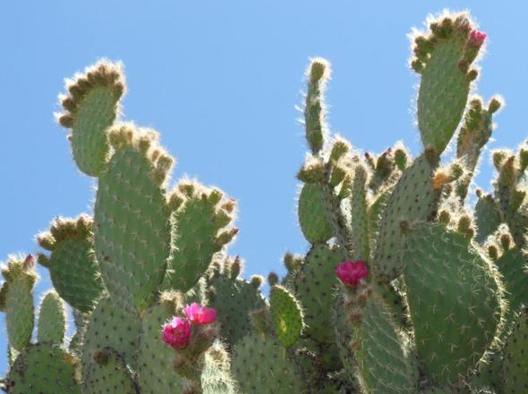 kaktus schimmelt an der schnittstelle pflanzen kakteen kaktusfeige. Black Bedroom Furniture Sets. Home Design Ideas