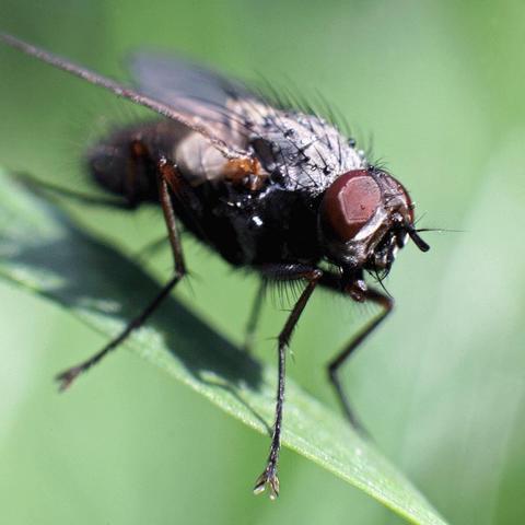 Fliege: ein Vielflieger, aber kein Hochflieger - (fliegen, Insekten, hoch)