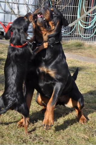 Rottweiler und Dackel - (Freizeit, Tiere, Hund)