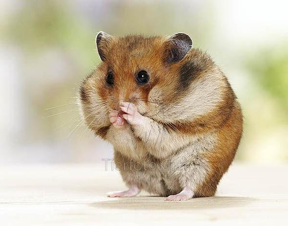 Hamster Dicke Backen