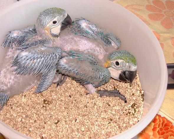 Arababys von uns - (Vögel, Tierhaltung, Papagei)