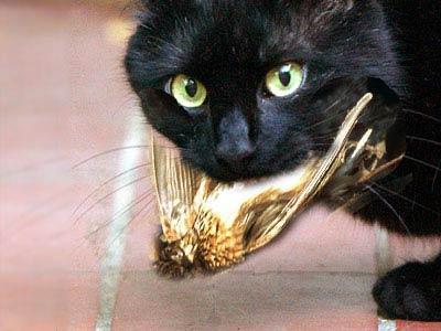 europ ische hauskatze frisst einen selbst gejagten kompletten vogel katzen v gel fressen. Black Bedroom Furniture Sets. Home Design Ideas