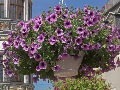 petunien, main-netz.de - (Freizeit, Pflanzen, Blumen)