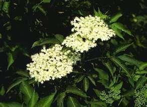 Holunderblüten an Pflanze - (Blüten, Holunder, verwechselt)
