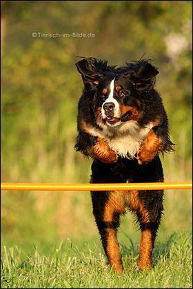 berner sennen in action - (Sport, Hund)