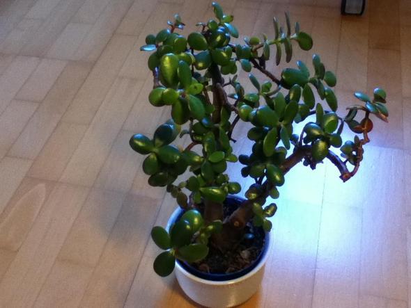 Die blätter sind auch etwas dicker als bei anderen Pflanzen... - (Garten, Pflanzen, Botanik)