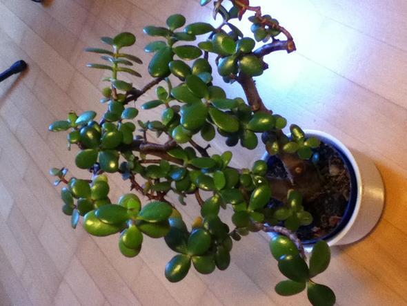 .....und glänzen wie bei einem Gummibaum - (Garten, Pflanzen, Botanik)