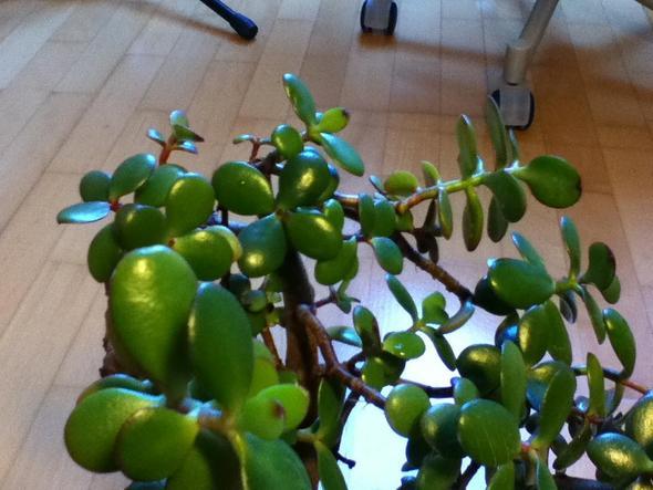 Die Pflanze ist in etwa 30cm hoch - (Garten, Pflanzen, Botanik)