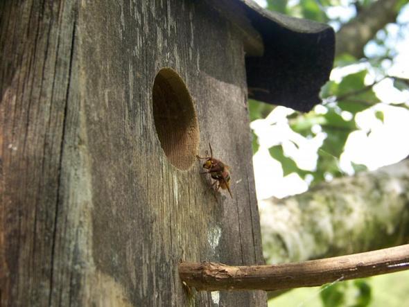Hornisse  - (Biologie, Natur, Insekten)