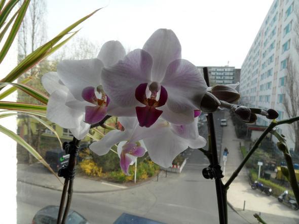 pflege dendrobium nobile zimmerpflanzen orchideen. Black Bedroom Furniture Sets. Home Design Ideas