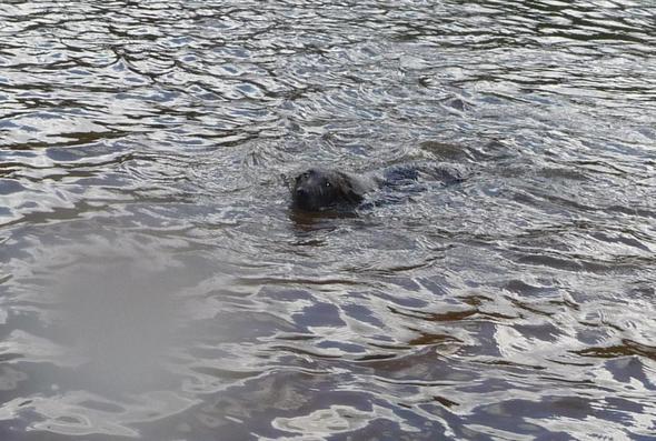 basker mit vier monaten - (Hund, schwimmen, Geburt)