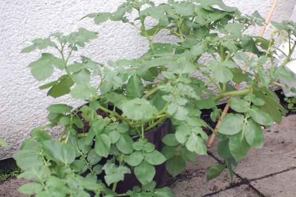 wann kann ich meine kartoffel ernten pflanzen gem se. Black Bedroom Furniture Sets. Home Design Ideas