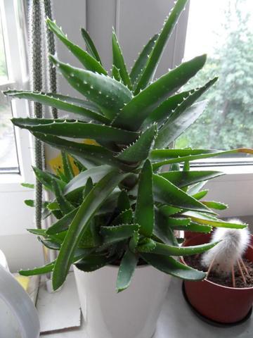 das ist meine Aloe Vera. - (Pflanzen, Pflege, Zimmerpflanzen)
