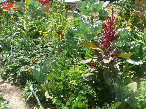 - (Pflanzen, Garten, gurken)