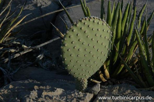 Ein Opuntia-Ableger - (Zimmerpflanzen, kaktus, Kakteen)