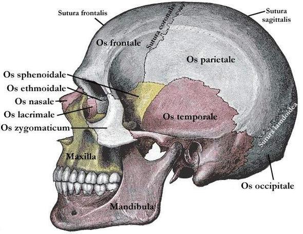 schädel - (Medizin, Anatomie)