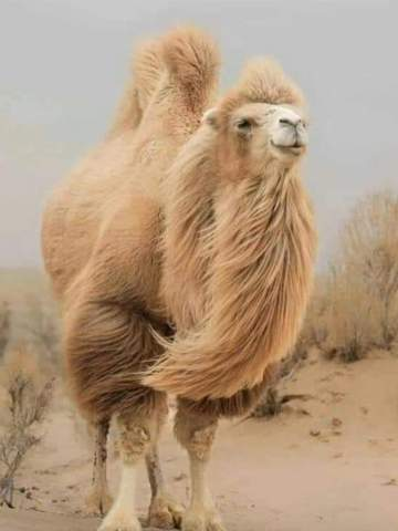Horse or camel?