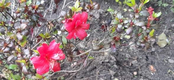 - (Pflanzen, Garten, Blumen)