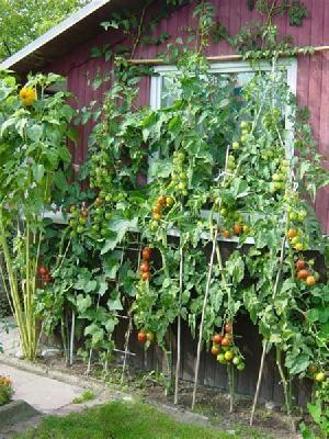 tomatenpflanze garten tomaten. Black Bedroom Furniture Sets. Home Design Ideas