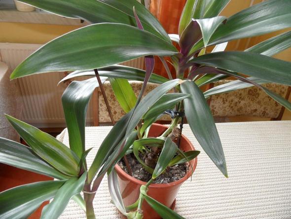 meine Dreimasterblume - (Pflanzen, Blumen, Zimmerpflanzen)